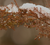 雪を被ったヒースの枝