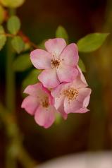 凍えるバラ