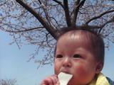 桜の下でせんべい