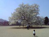 味真野小学校桜2