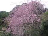 溶射屋 散歩のt途中の桜.JPG