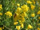 菜の花 ミツバチ.JPG