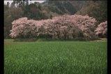 chasakura