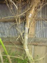納屋の中に生えた竹
