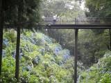 紫陽花 橋を見る