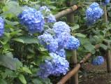 黒羽紫陽花祭り