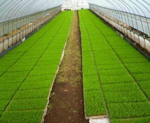 生育中の稲の苗