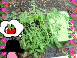 トマト観察