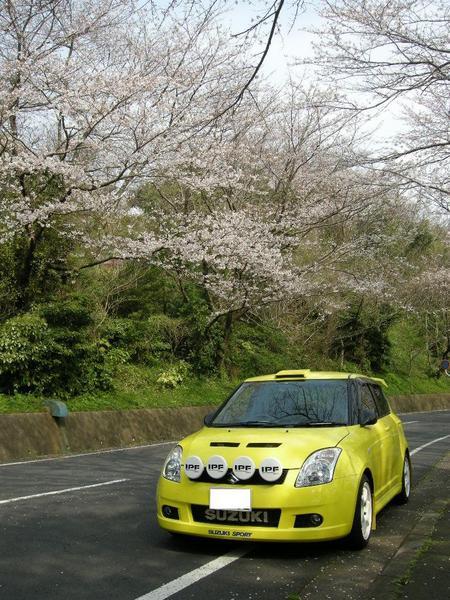 桜と変態黄色雨燕