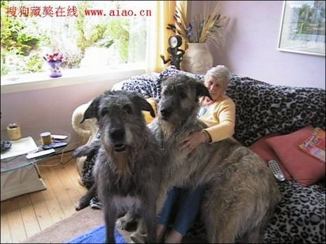 biggest_dogs_on_earth_7