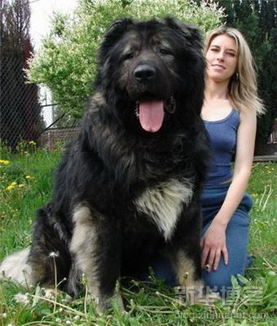 biggest_dogs_on_earth_4