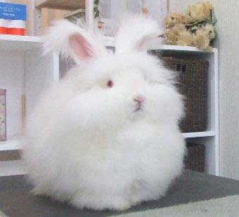 アンゴラウサギの画像 p1_24