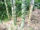 きっこう竹