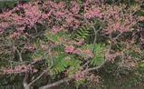 八重岳の桜-5