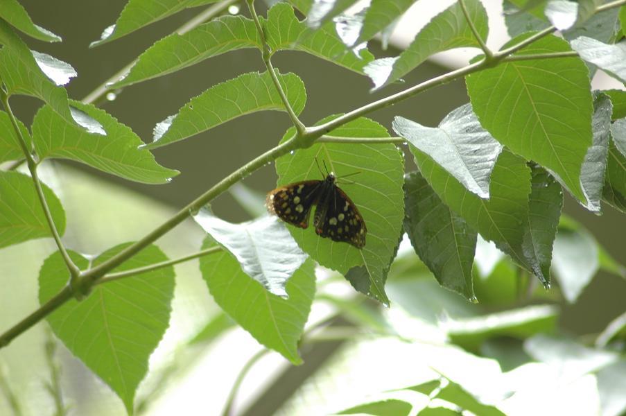 葉の裏 オオムラサキ