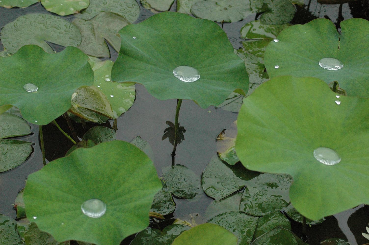 ハスの葉   水玉