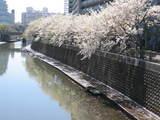 見納め桜2