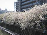見納め桜?