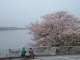 浜名湖の桜