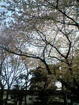さくら@墨田公園