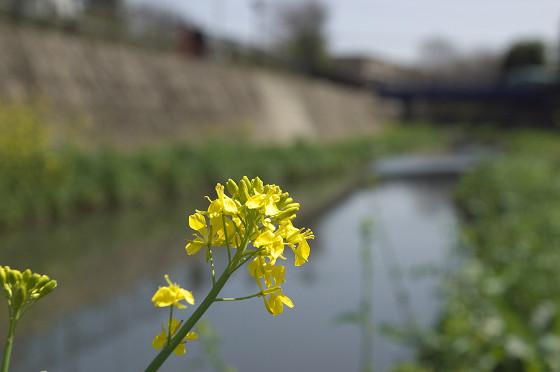 阿久和川 菜の花
