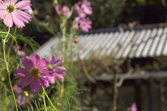 東慶寺のコスモス