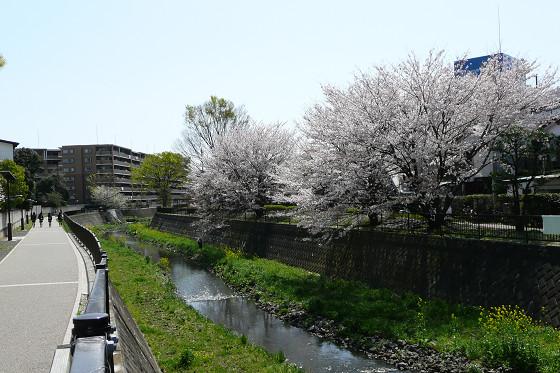阿久和川の桜 かもめ橋(横)01