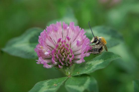 アカツメクサとハチ