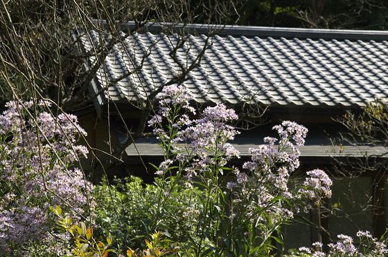 東慶寺の紫苑