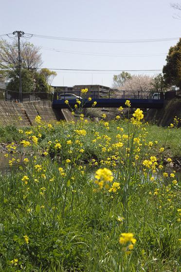 阿久和川の桜 かもめ橋(縦)03