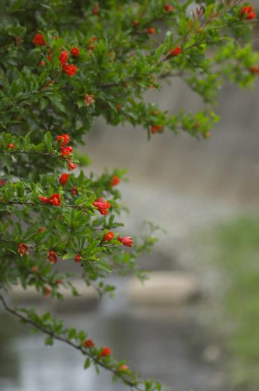 阿久和川のザクロ