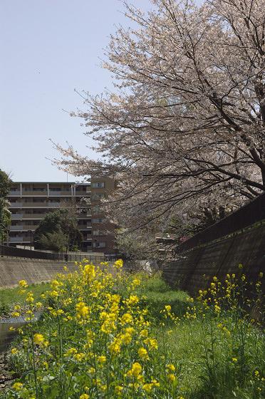 阿久和川の桜 かもめ橋(縦)01