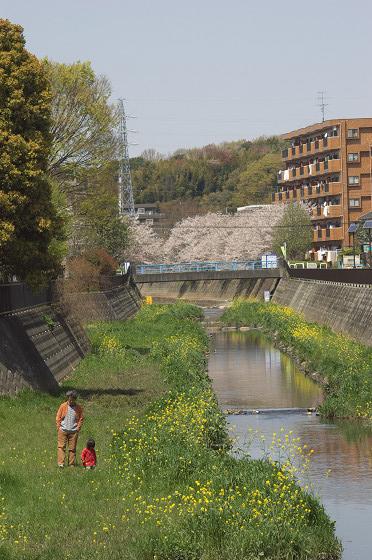 阿久和川の桜 かもめ橋(縦)02