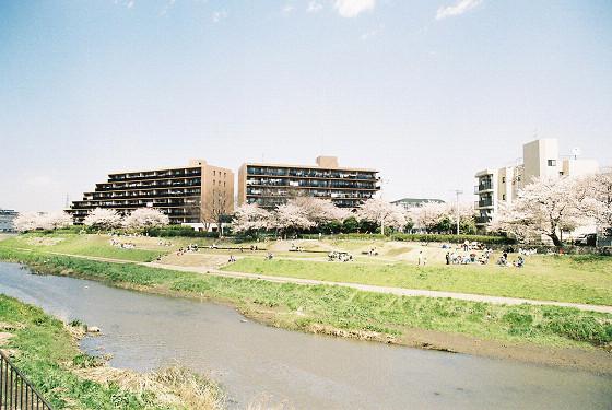 柏尾川の桜(元町橋)・河原