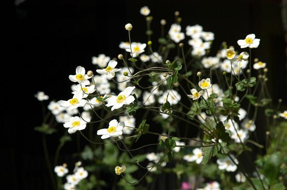 東慶寺の秋明菊