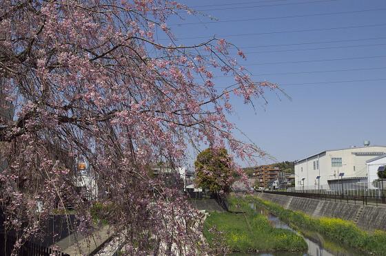 阿久和川の桜 かもめ橋(横)03