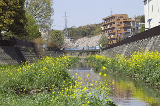 阿久和川の桜 かもめ橋(横)02
