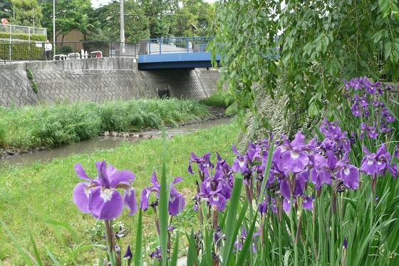 かもめ橋のアヤメ 01