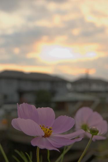 夕空とコスモス 03