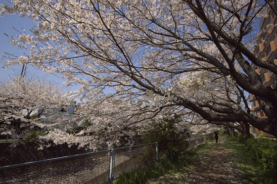 阿久和川の桜 片曽橋(横)02
