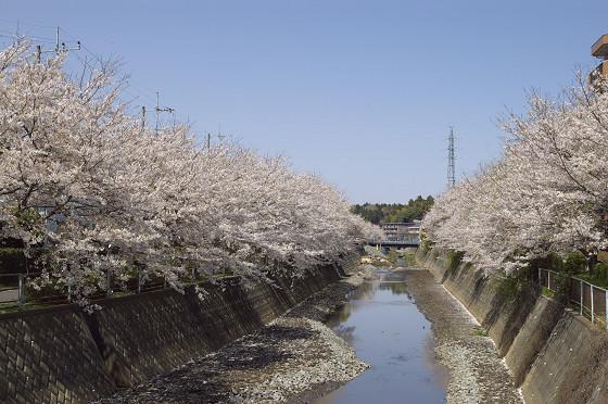 阿久和川の桜 片曽橋(横)01