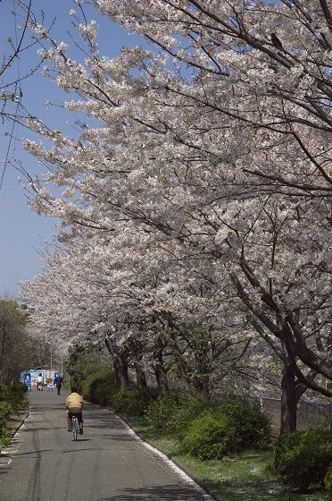阿久和川の桜 片曽橋(縦)