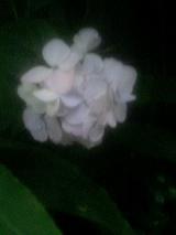 白紫陽花2