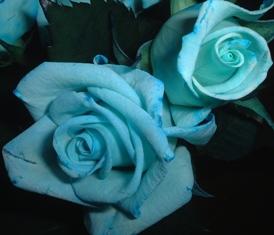 青いバラのアップ