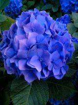 実家の紫陽花1