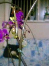 新芽胡蝶蘭2