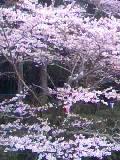 公園の桜09年 (3)