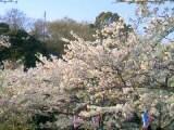 09公園桜 (2)