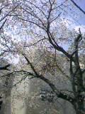 公園の桜09年 (5)
