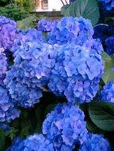 実家の紫陽花2